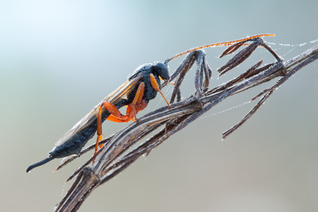 Hymenoptera wasp sleeping on plant in morning fog with water drops