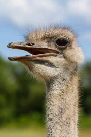 struthio camelus: Funny ostrich female head closeup with big eye with green background and selective focus