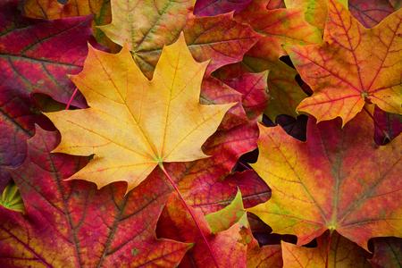 자연 단풍의 놀라운 여러 가지 빛깔의 배경. 여러 가지 빛깔의 화려한 배경 자연 채광으로 나뭇잎. 장엄한 밝은 단풍 단풍 배경 스톡 콘텐츠