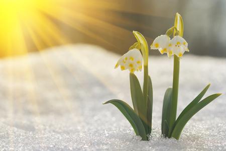 Majestic scenic view on wild spring snowdrop flowers in sunlight. Amazing golden sunbeams on wildgrowing snowdrop flowers in wildllife reserve. Reklamní fotografie