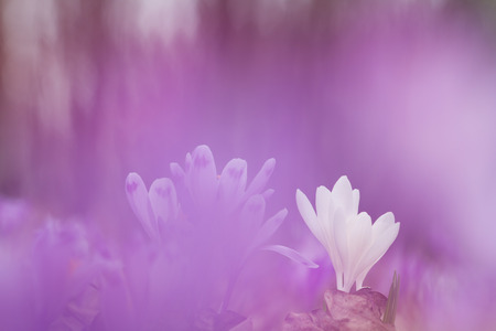 Beautiful white spring flower crocus in purple background growing wild. Amazing beauty of wild flowers in nature