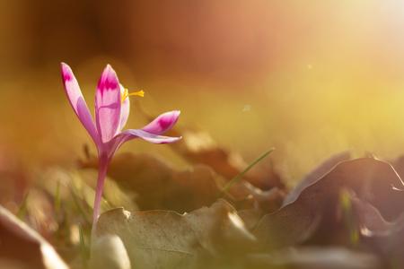 Golden sunlight on beautiful spring flower crocus growing wild. Amazing beauty of wild flowers in nature