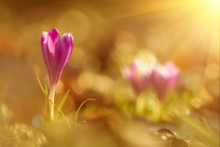 Magic view of close-up blooming spring flowers crocus in amazing sunlight