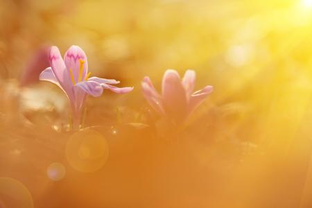 Majestic golden sunlight on beautiful spring flower crocus growing wild. Amazing beauty of wild flowers in nature Reklamní fotografie