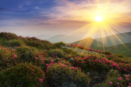 Amazing colorful sundown in mountains with majestic sunlight and pink rhododendron flowers on foreground. Dramatic colorful scene in mountains. Golden sunbeams and clouds under the mountains