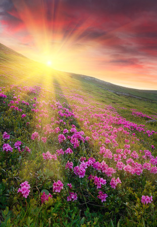 Amazing colorful sundown in mountains with majestic sunlight and pink rhododendron flowers on foreground.