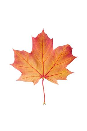 Colorful autumn maple leaf isolated on white background close up. Orange maple leaf isolated on white background