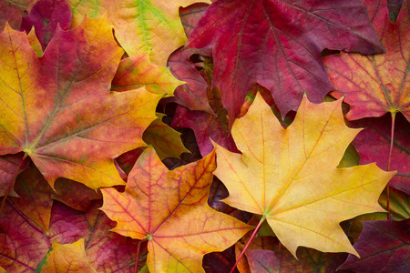 Amazing multicolor background of natural autumn foliage. Colorful background of multicolor leaves with natural light. Majestic bright autumn foliage color background