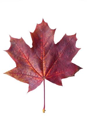 Colorful autumn maple leaf isolated on white background close up. Red maple leaf isolated on white background
