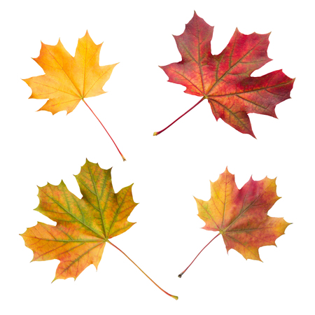 Group of colorful autumn maple leaves isolated on white background close up Reklamní fotografie