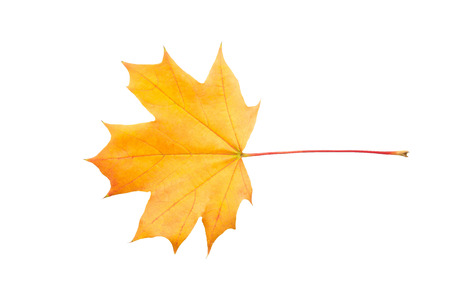Colorful autumn maple leaf isolated on white background close up