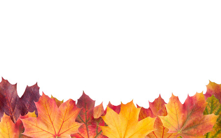 Colorful background of autumn maple tree leaves background close up. Multicolor maple leaves autumn background with copy space isolated on white. High quality resolution picture