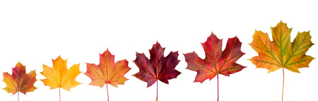 ?ollection beautiful colorful autumn leaves isolated on white background