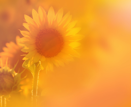 Amazing beauty of sunflower field with bright sunlight on flower. Beautiful nature. Reklamní fotografie