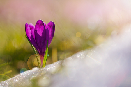 View of magic blooming spring flowers crocus growing from snow in wildlife. Amazing sunlight on spring flower crocus.Beautiful nature. Reklamní fotografie