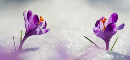 Blooming spring flowers crocus growing from snow in wildlife. Amazing sunlight on spring flower crocus Reklamní fotografie