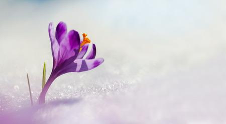 Amazing sunlight on spring flower crocus. Blooming spring flowers crocus growing in wildlife. Majestic spring flower crocus in snow