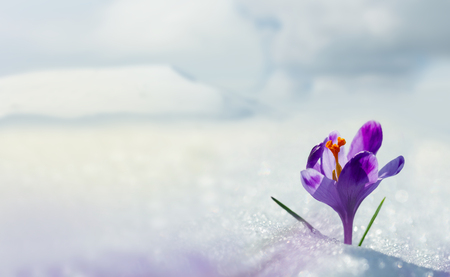 Amazing spring flower crocus in mountains in snow. Blooming spring flowers crocus growing in mountains. Majestic spring flower crocus in snow