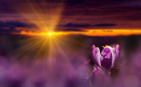 Amazing sunrise with spring flower crocus and colorful clouds. Blooming spring flowers crocus growing in wildlife. Majestic sunbeams on spring flower crocus