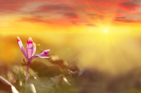 Golden sunlight on beautiful spring flower crocus growing wild. Dramatic sunrise with wildgrowing spring flower crocus. Amazing beauty of wild flowers in nature with colorful clouds Reklamní fotografie