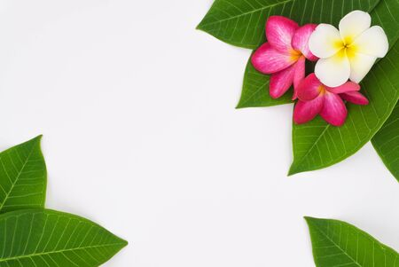 Flower white and two pink flower in four green leaf on white background 版權商用圖片
