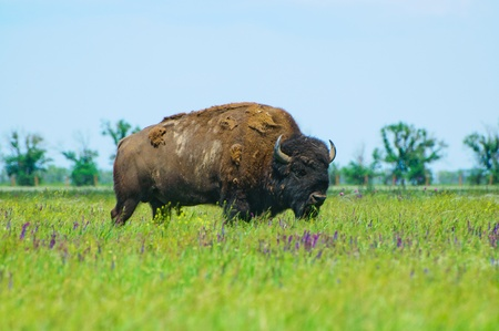 american midwest: Bison in the green of spring steppe