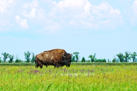 buffalo grass: Bison in the green of spring steppe