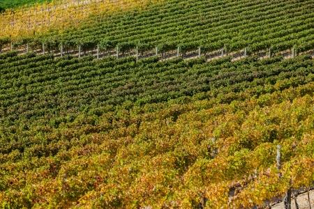 Vineyard near Montepulciano, Italy Stock Photo - 16062236