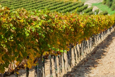 montepulciano: Vineyard near Montepulciano, Italy Stock Photo