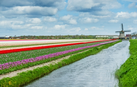holland: Landscape with colorful field of tulips and windmill in Holland