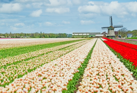 Landscape with colorful field of tulips and windmill in Holland photo