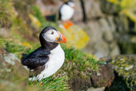 squawk: the puffin bird-the most beautiful animal on the iceland    Note  Slight blurriness, best at smaller sizes