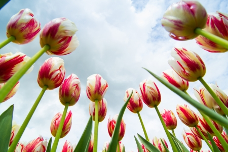 A field of white and red colored tulips in holland Stock Photo - 18241230