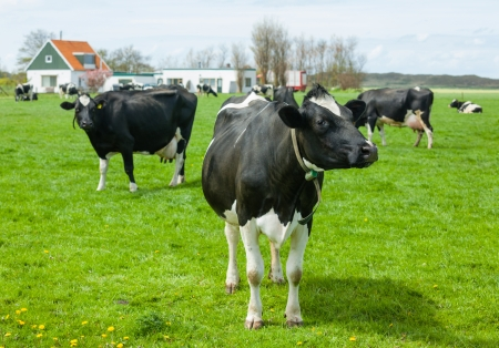 Cows on on farmland in the Netherlands Stock Photo