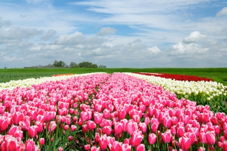 Landscape with colorful field of tulips  Holland
