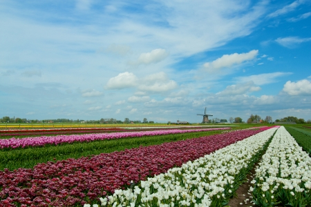 berkmeer: Landscape with colorful field of tulips and windmill in Holland