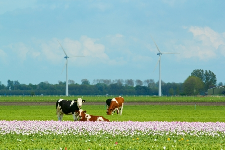 Landscape in Holland with cows on on farmland in the Netherlands