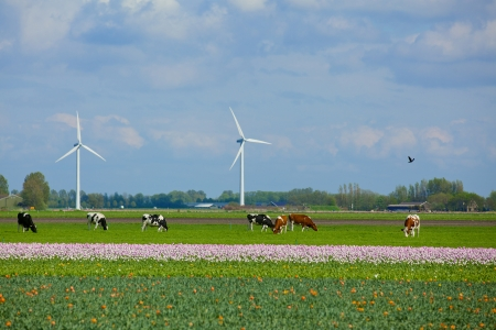 Landscape in Holland with cows on on farmland in the Netherlands photo