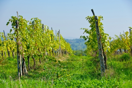 Tuscany landscape with vineyard, Chianti region, Italy photo
