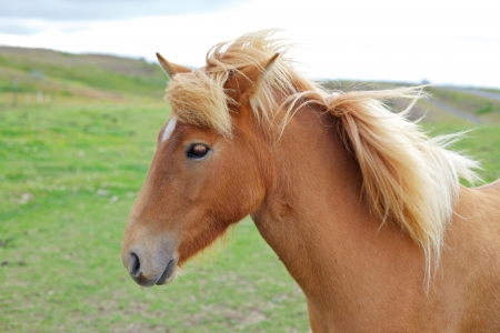 long lived: Closeup on the head of Icelandic horse Iceland  Stock Photo