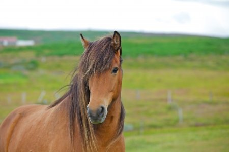 Closeup on the head of Icelandic horse Iceland  photo