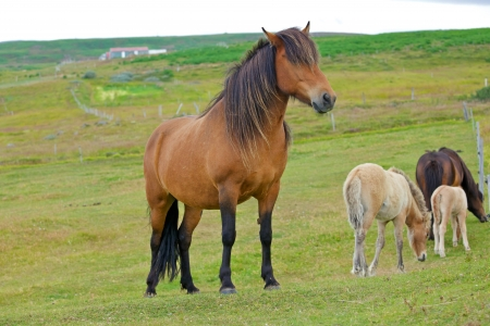 Icelandic horses grazing on a green grass field  Iceland  photo