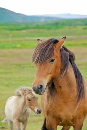 Closeup on the head of Icelandic horse Iceland  Vertical view photo