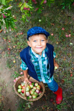Harvesting apples  Cute little boy helping in the garden and picking apples in the basket  photo