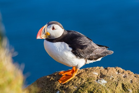 puffin: Puffin standing on a grassy cliff, sea as background, Latrabjarg north Iceland Stock Photo