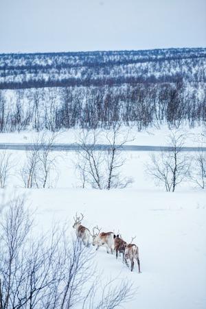 Reindeer. Norway, Scandinavia photo