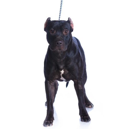 black out: Pit Bull Terrier Stock Photo
