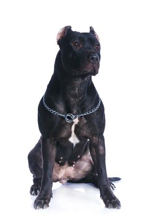 black and white pit bull: Pit Bull Terrier Stock Photo
