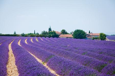 lavanda: Lavanda fields of the French Provence near Valensole