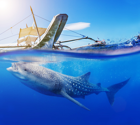 Underwater shoot of a gigantic whale shark with boat Standard-Bild